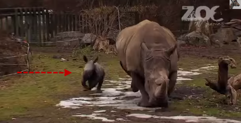 Dublin zoo s baby rhino goes for his first run
