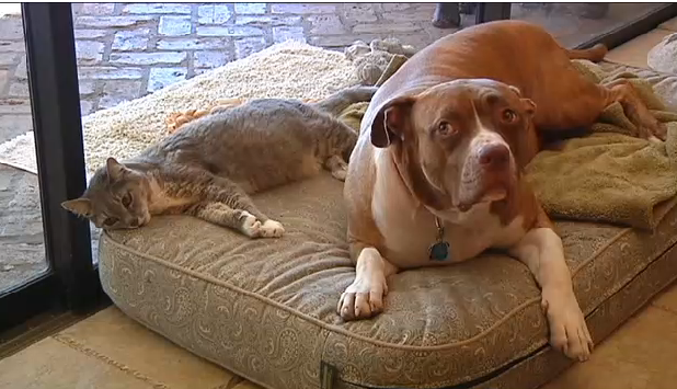 Cat-Saved-By-Her-Pit-Bull-Friend-From-Hungry-Coyotes