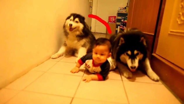 Siberian-Huskies-Crawl-With-Baby-Super-Cute-Dog-Video-Must-Watch