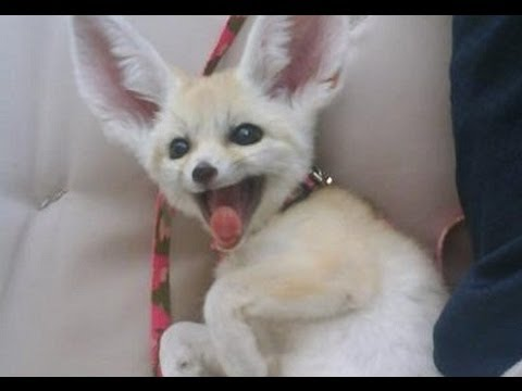 Fennec Fox Is So Excited For His New Home