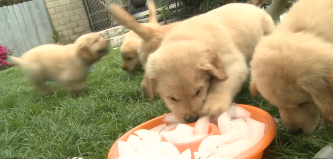 Golden Retriever Puppies Play With Ice Cubes