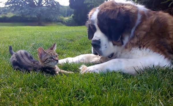 St-Bernard-loves-kitten