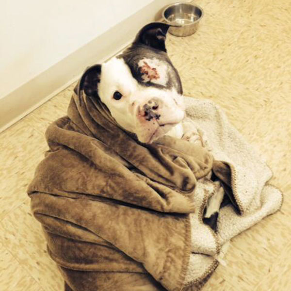 lexi-pit-bull-fights-cancer-14