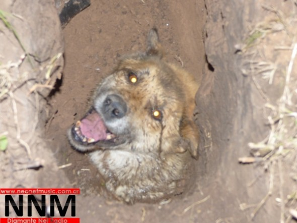 The blind and old dog is trapped in a hole