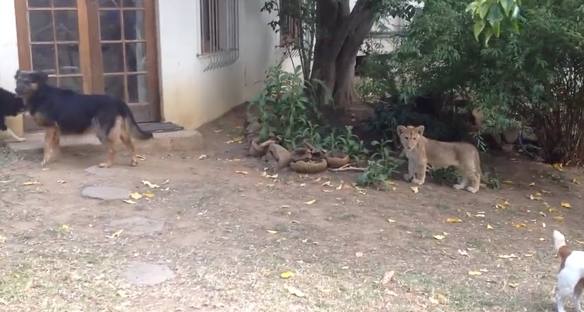 This sneaking lion cub frightened the sweet dog, it's an adorable scene.
