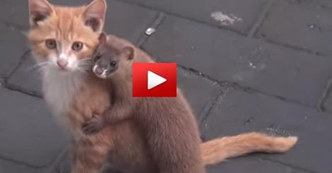 Ferret And Cat And Their Unthinkable Friendship