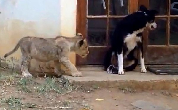 Sneaking-Lion-Cub-Gives-Dog-Fright1