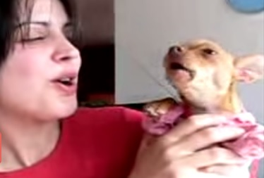Cute  Chihuahua Dog  is singing