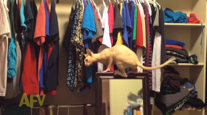 funny-sphynx-cat-video