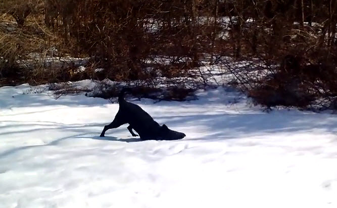 A cute dog enjoys playing in the snow, it's adorable.