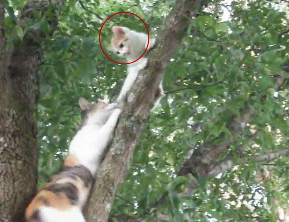 A cat rescues her little kitten from the top of the tree.