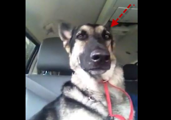 This German shepherd dog dances with his ears! It's unbelievably hilarious.