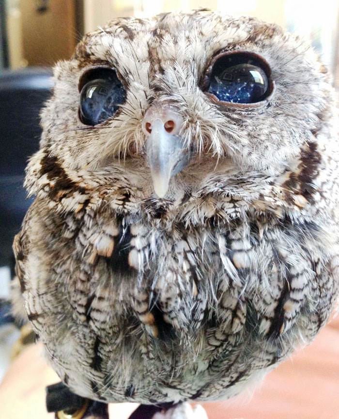 Zeus the cute owl is a maricale, his blinded sparkly, starry night eyes is enough to make you fall in love immediately with him, these are the kind of eyes you won't get bored from staring at it.