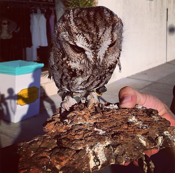 Zeus the cute owl was rescued after he flew into a wall and hit his head then he fell down, he was found lying on a porch; the rescuers took him immediately to the vet.