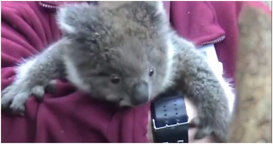 """The cutest and most loving koala. Koalas are the laziest, yet the cutest. The music attached to this video is """"The Time to Run"""" by Dexter Britain"""", it made this video heart touching. This video really shows you how precious, lovely and cute animals are, with each other and with us, humans."""