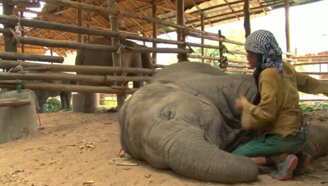 A sweet elephant sleeps when this woman sings lullaby for her.