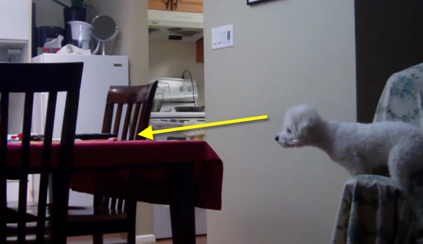 This Bichon Frise puppy is very smart; see how he steals food from the table.