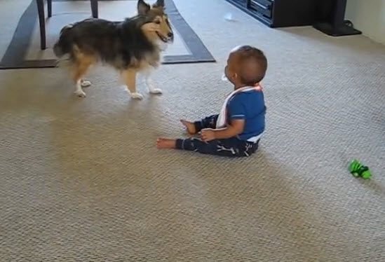 This amazing Shetland sheepdog is playing a perfect game with his baby friend.