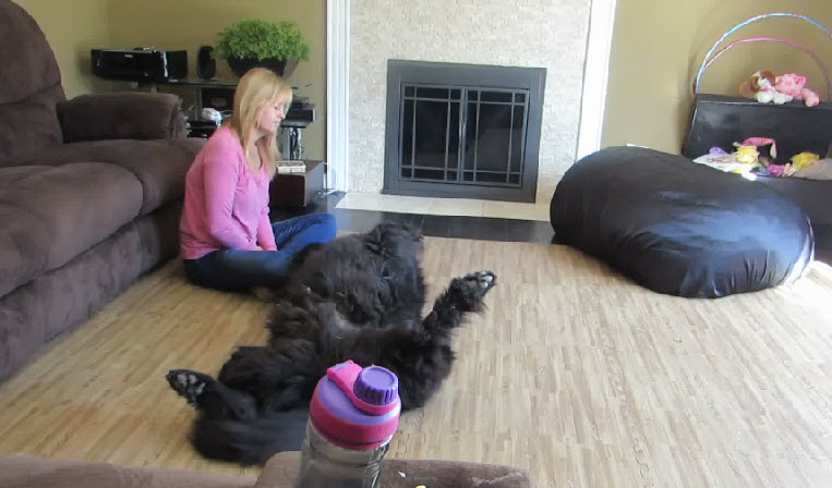 A Newfoundland dog wants some belly rubs, what he had done is so cute.