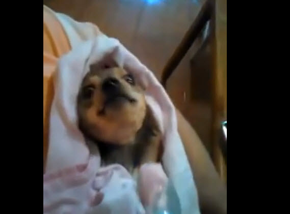 Watch how this paralyzed dog is crazy about strawberry yogurt.