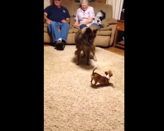 Watch the first hilarious meeting between a Chihuahua dog and a giant Great Dane