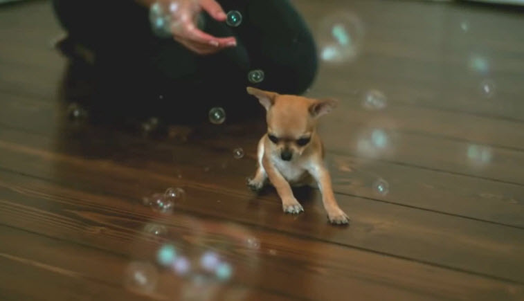 A Chihuahua dog popping up bubbles; it's the cutest thing ever.