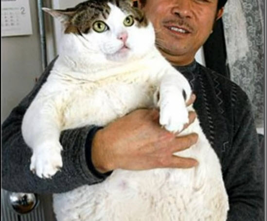 Meet the fattest cats in the world, it's unbelievable.
