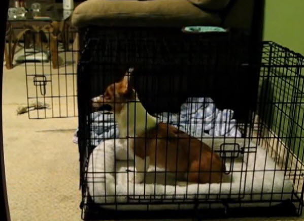 A smart corgi dog helps his sister to escape, he will amaze you.