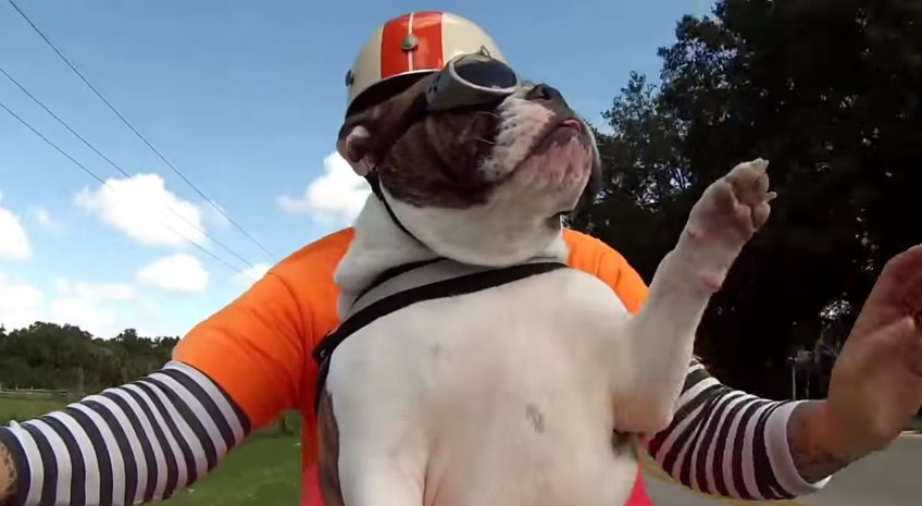 2Sweets-the-English-Bulldog-see-s-a-biker-wave-at-us-and-she-waves-back-ALL-ON-HER-OWN-YouTube