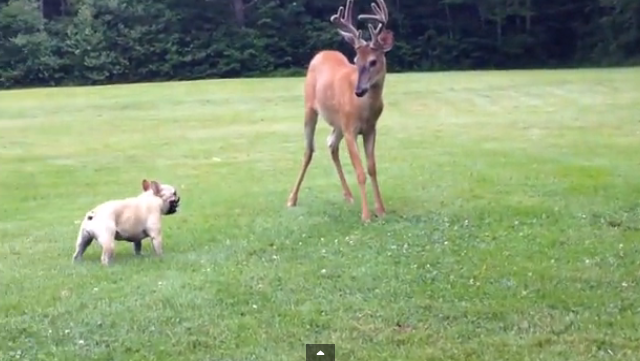 A Bulldog having a joyful time with his new deer friend.
