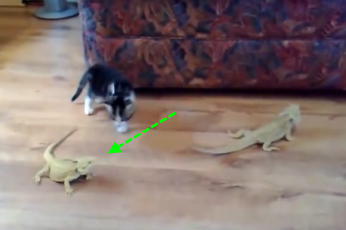 A battle between one kitten and two Iguanas.