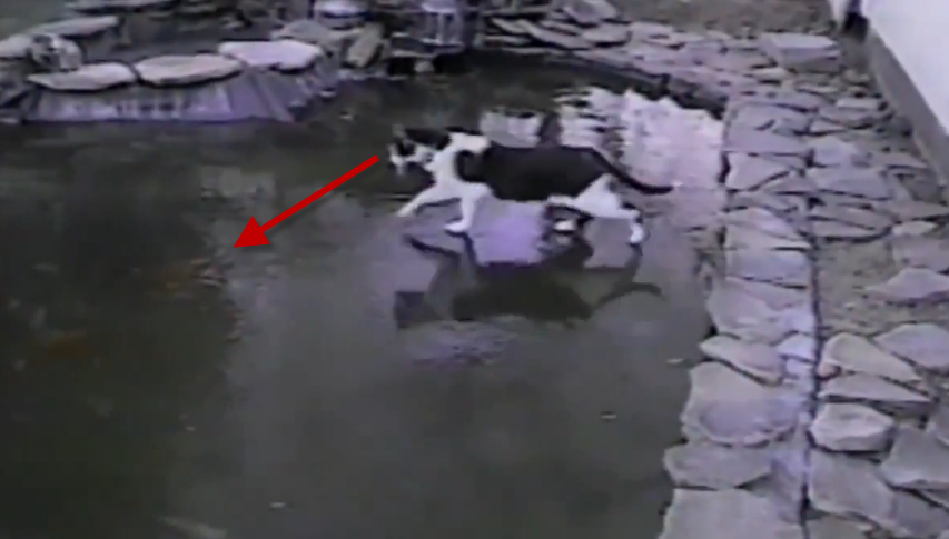 A cat chases fish under the frozen pond.