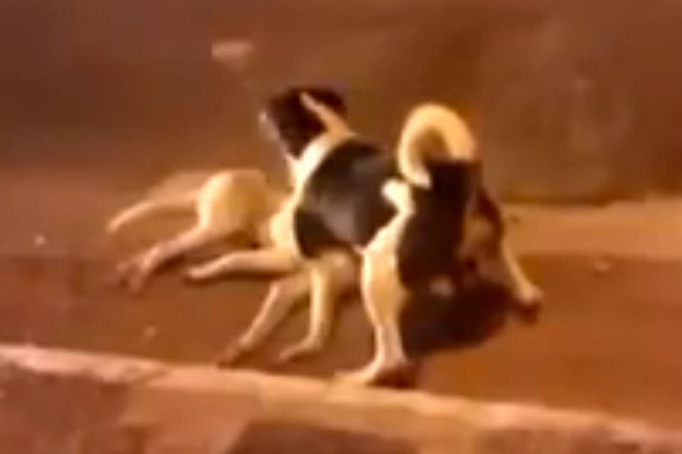 A dog protected his killed friend in a busy road.