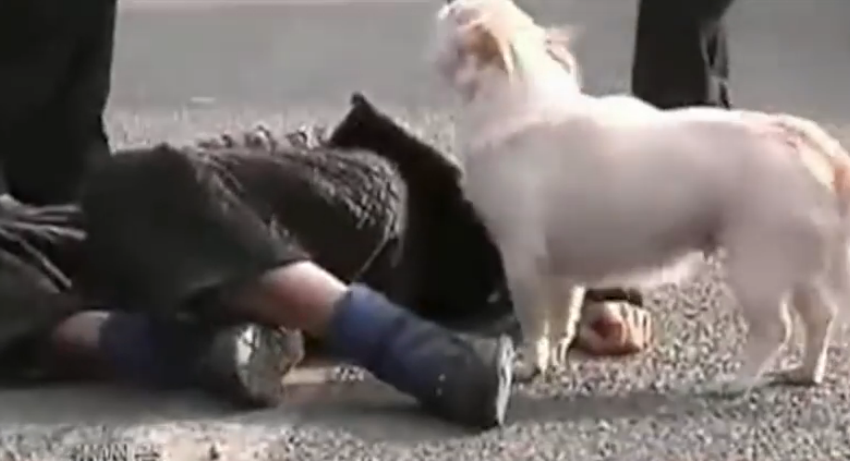 A little dog protects his unconscious owner on a busy street.