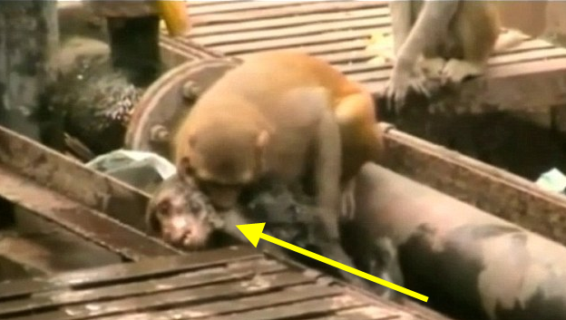 A monkey tried to save his unconscious friend; you won't believe what happened next.