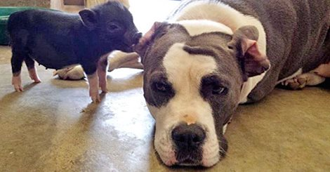 A pig invites a pit bull dog to play, it's a cuteness overload.