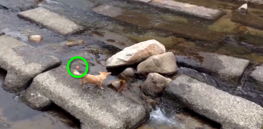 Adorable! A Chihuahua dog was caught playing fetch with himself!