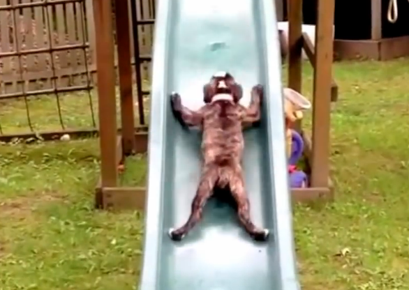Funny compilation of bulldogs having unlimited fun on slides. You won't stop laughing.
