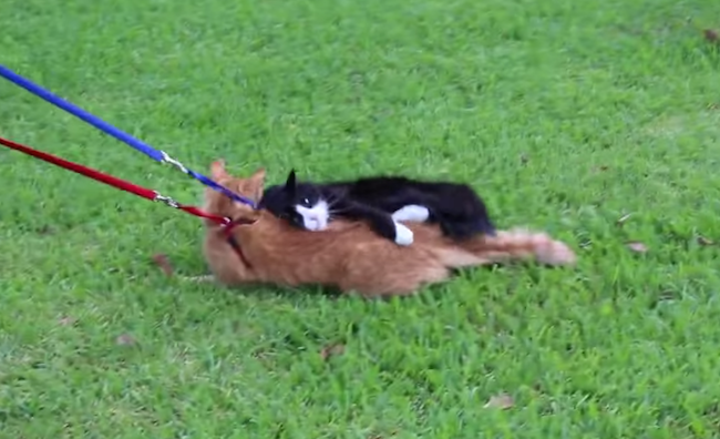 He decided to take his cats for a walk, but what happened next was unexpected.