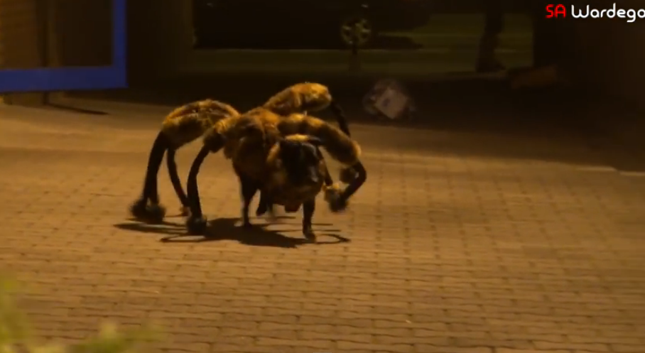 Hilarious! A dog dressed in a huge spider costume, and the prank started.