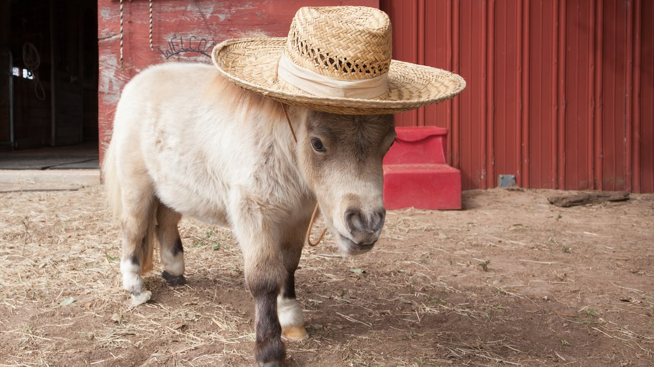 Meet Shammy, the pony who was born with dwarfism, he will melt your heart!