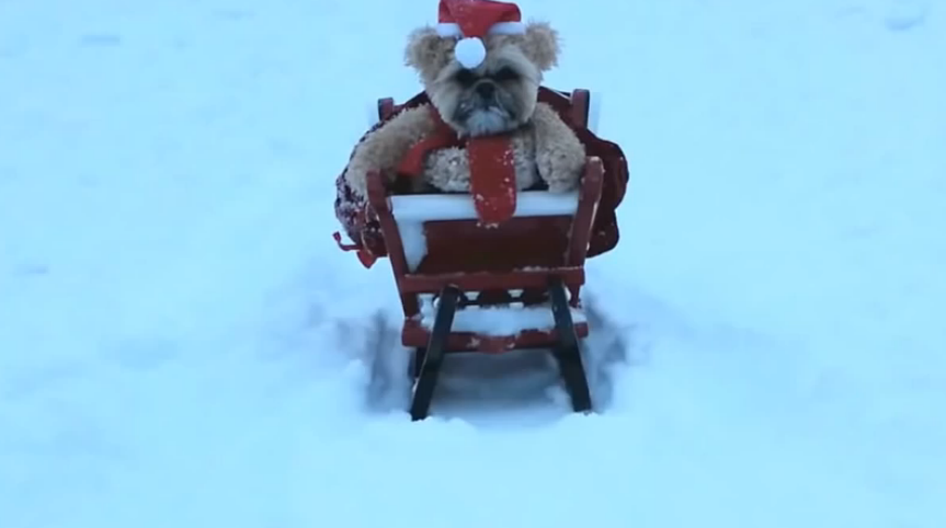 Munchkin the Shih Tzu dog is wearing a Santa-like costume, it's the Christmas cuteness.