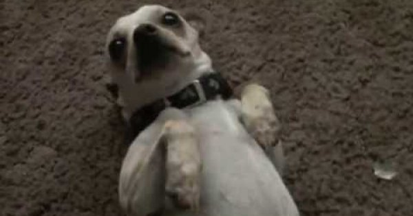 See how this Chihuahua dog reacted when his owner asked him for…