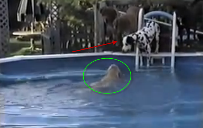 The Golden Retriever dog found his Dalmatian friend scared from water, what he did is amazing.