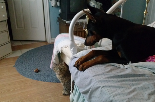 This Doberman hides the bone from his cat friend, totally hilarious.