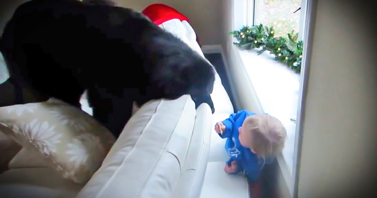 This Newfoundland dog is playing hide and seek with his little friend.