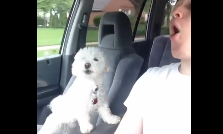 This is how the Maltese dog reacted when he went to a road trip.
