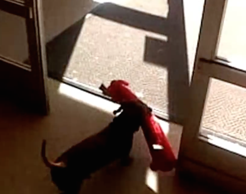 Watch this cute dachshund dog stealing a toy, it's totally hilarious.