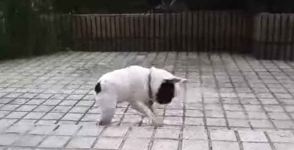 CUTE! That's how this little bulldog puppy enjoys the raindrops.
