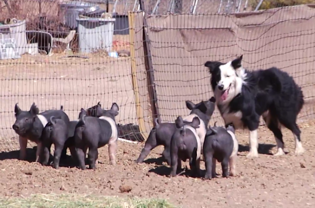 australian-shepherd-piglets-will-it-herd-herding-pigs-dogs-pets